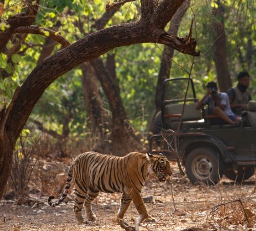 Ranthambore with Golden triangle